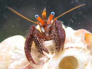 サンゴヨコバサミ