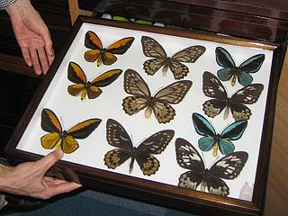 熱帯系の蝶
