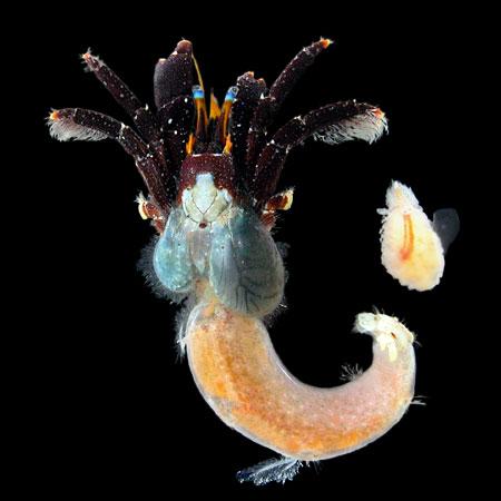 セグロサンゴヤドカリと寄生虫