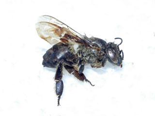 ミツバチの死骸?
