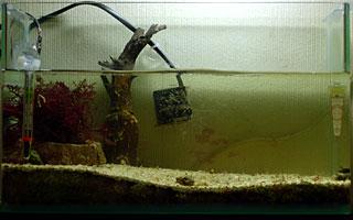 ヒゲゴケの抑制された水槽