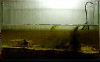 ヒゲゴケだらけの水槽