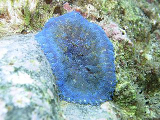 青いイソギンチャク1