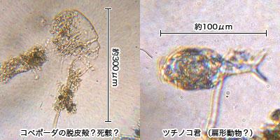 コペポーダの殻と扁形動物