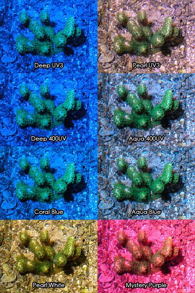 新LeDio 9シリーズによるエダコモンサンゴの発色テスト