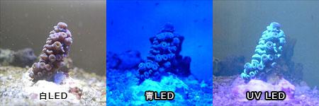 ブルー系スギノキミドリイシのUVによるシアン蛍光