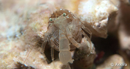Pagurixus sp. / ヒメホンヤドカリの一種