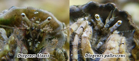 Diogenes klaasi と Diogenes pallecens の眼柄の特徴