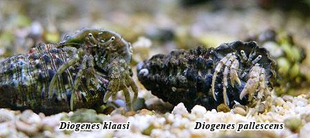 Diogenes klaasi と Diogenes pallecens