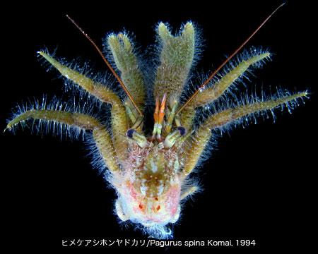 ヒメケアシホンヤドカリ標本