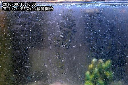 2010/09/10 16:00 茶ゴケvsウミミズムシ戦闘開始