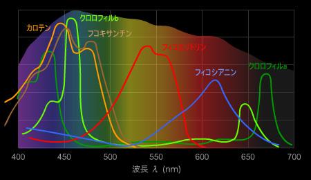 海洋性光合成色素の吸収スペクトル
