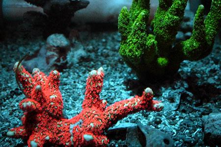 エダコモンサンゴの蛍光色