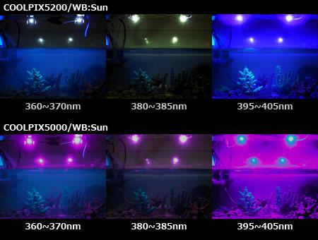 各種UV LEDによるスギノキの蛍光発色