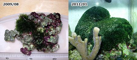 ライブロックに生える硬い海藻