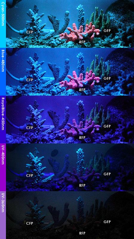 各サンゴの波長ごとの蛍光反応