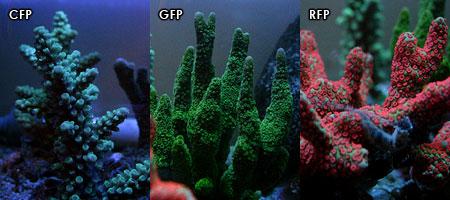各サンゴの蛍光色