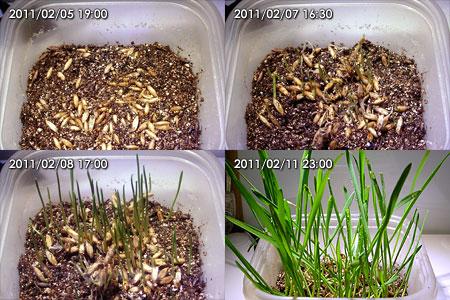 猫草、一週間の成長