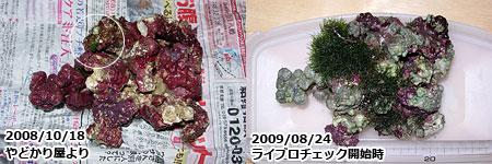 初期のライブロックの海藻