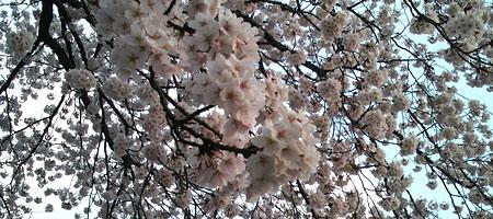 4/14 桜