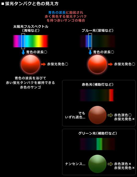 蛍光タンパクと色の見え方