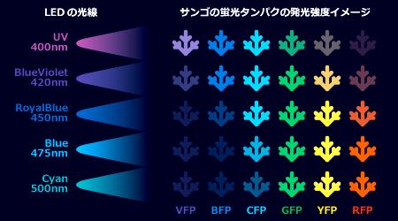 LEDの波長に対するサンゴの蛍光タンパクの発光強度