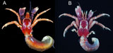 Calcinus fuscus Malay, Komai & Chan, 2012