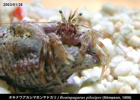 オキナワアカシマホンヤドカリ/Boninpagurus pilosipes (Stimpson, 1858) 沖縄産