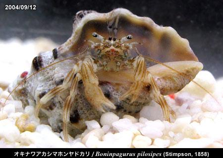 オキナワアカシマホンヤドカリ/Boninpagurus pilosipes (Stimpson, 1858) 越前海岸産