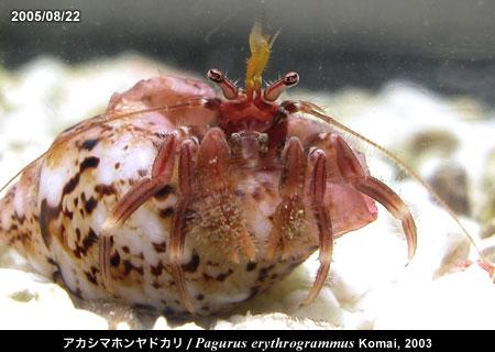 アカシマホンヤドカリ/Pagurus erythrogrammus Komai, 2003