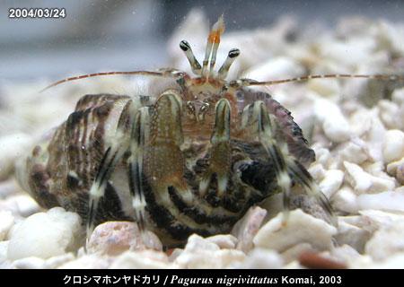 クロシマホンヤドカリ/Pagurus nigrivittatus Komai, 2003