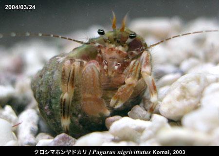 クロシマホンヤドカリ/Pagurus nigrivittatus Komai, 2003 赤い個体