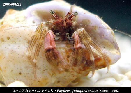 ゴホンアカシマホンヤドカリ/Pagurus quinquelineatus Komai, 2003