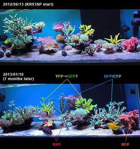 KR93SPを設置して7ヶ月経過したサンゴの色素経過