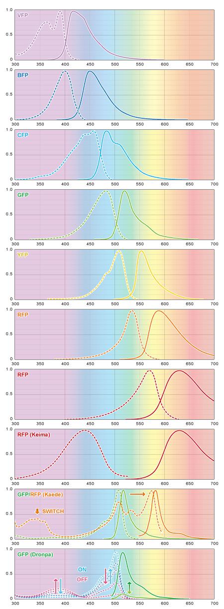 代表的な蛍光タンパクの励起波長と発光波長