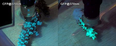 蛍光タンパクの蛍光スペクトル測定
