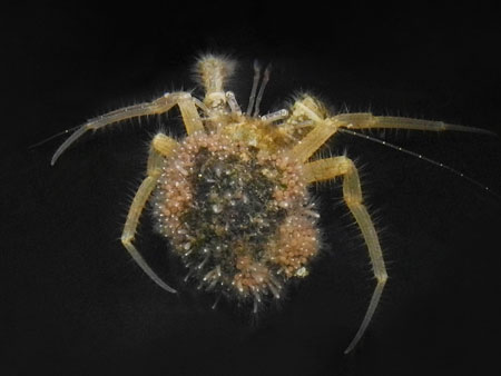 ホンヤドカリ属の新種 Pagurus sp. (仮称:エタジマホンヤドカリ) 後