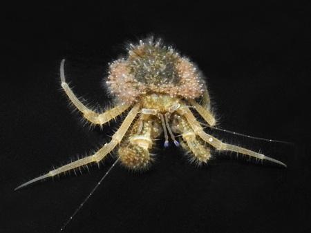 ホンヤドカリ属の新種 Pagurus sp. (仮称:エタジマホンヤドカリ) 前
