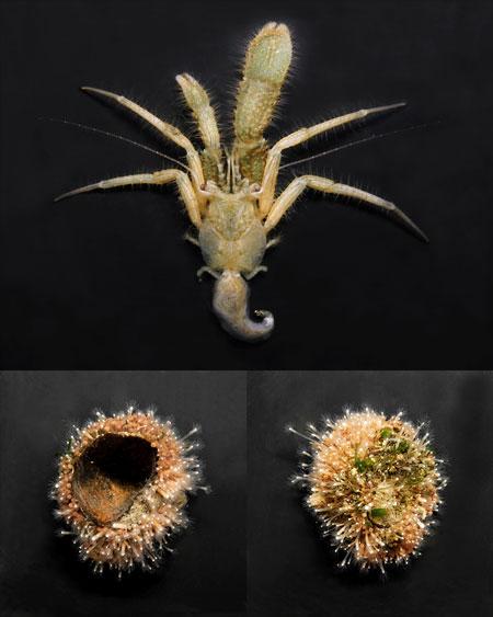 ホンヤドカリ属の新種 Pagurus sp. (仮称:エタジマホンヤドカリ) 標本