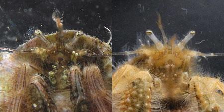 左がゴホンアカシマホンヤドカリ、右が新種