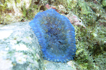 串本の青いイソギンチャク、但し色素タンパク
