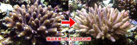 ZEOvitの薬品(Spur2)を使って褐虫藻を抜いた例
