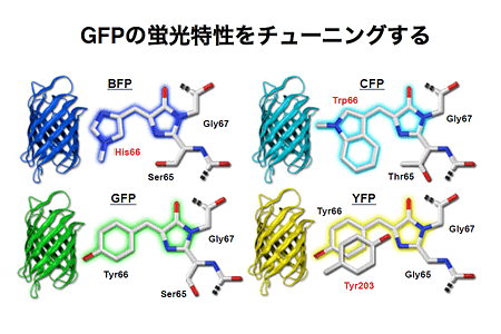 GFPの発光団置換による発光色変化