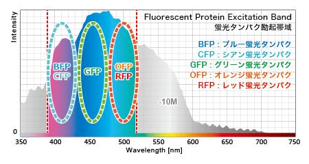 各蛍光タンパクの励起発光に必要な波長帯域