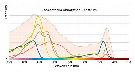 褐虫藻の吸収スペクトルの構成