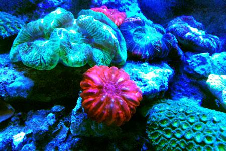 コーラルカフェバー水槽のサンゴ