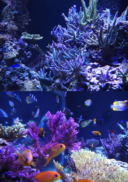 サンゴ水槽の光色