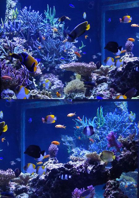 サンゴ水槽の横面の水景
