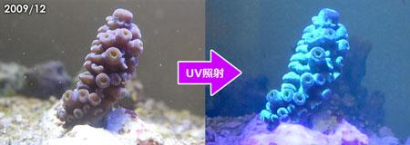 スギノキブルーの青味がUVで励起されるブルー蛍光タンパクであることを発見!